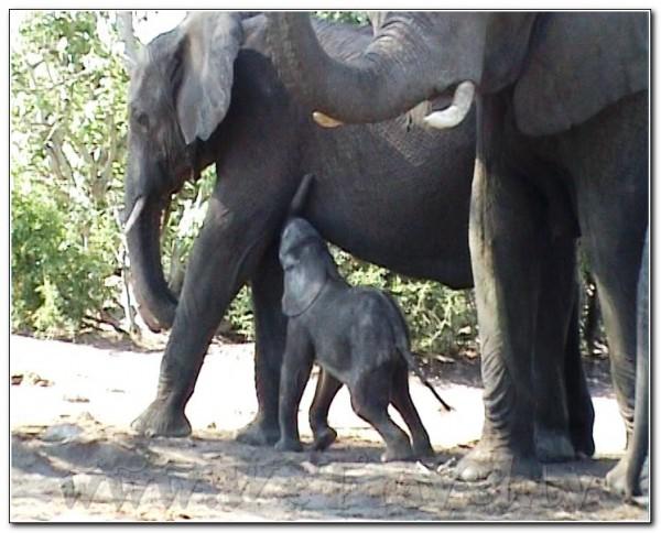 Botswana Chobe 058