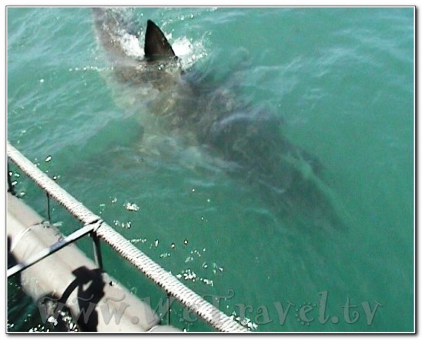 Republic of South Africa White Shark Diving Gansbaai 009