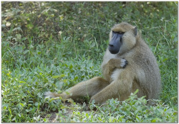 Yellow Baboon
