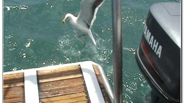 Republic of South Africa White Shark Diving Gansbaai 003