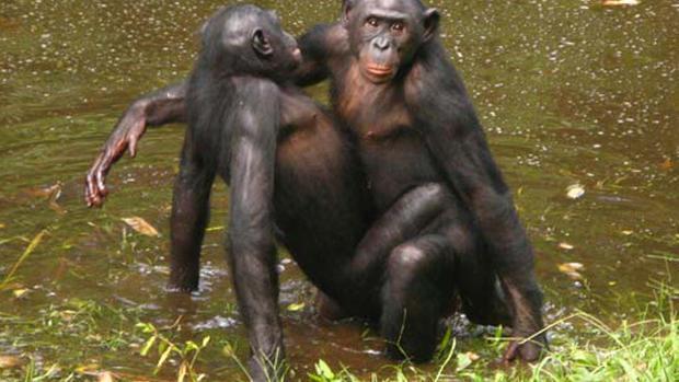 Bonobo 6