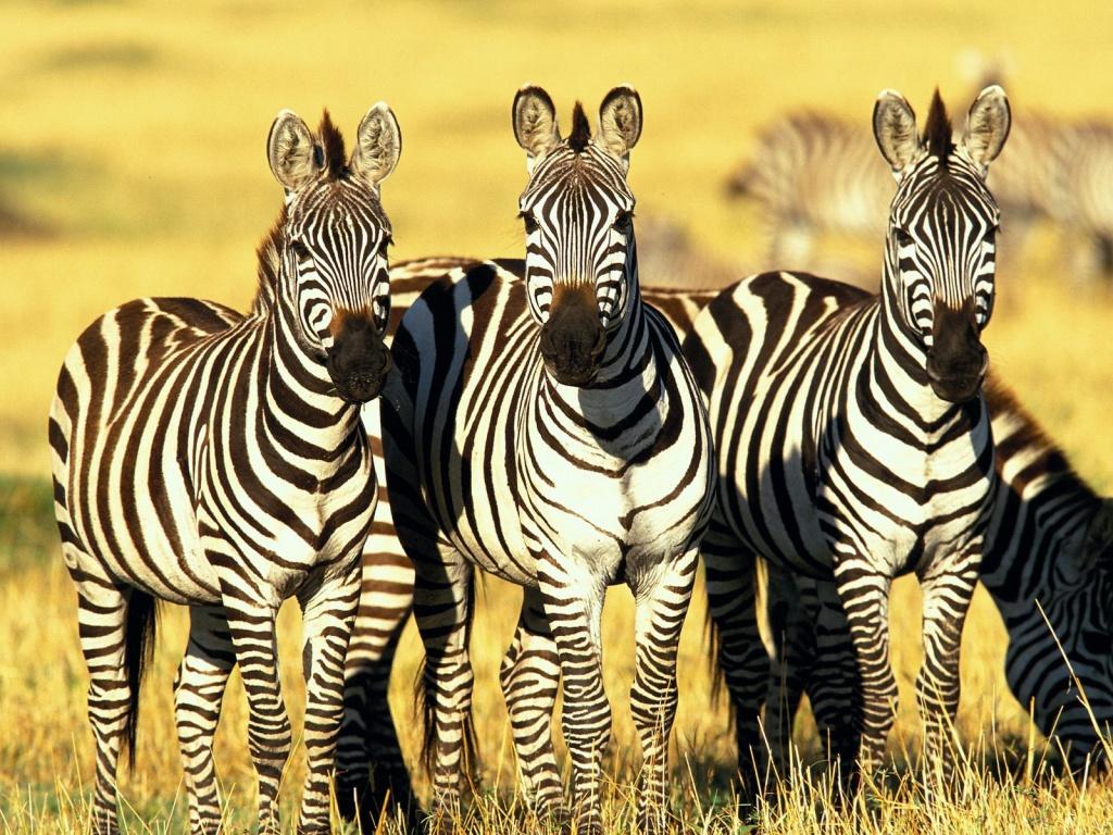 Зебра в национальном парке Серенгети, Танзания.