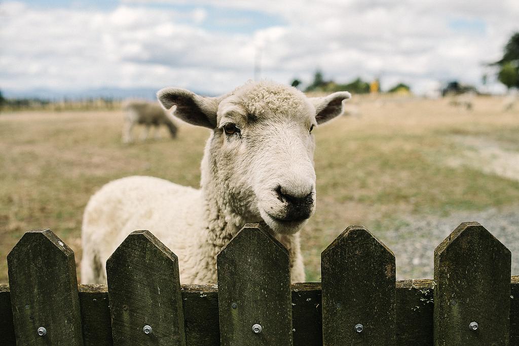 Раньше на месте Хоббитона располагалась овечья ферма
