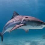 Tiger Shark Самостоятельно по недоступным островам путешествуют только Герои
