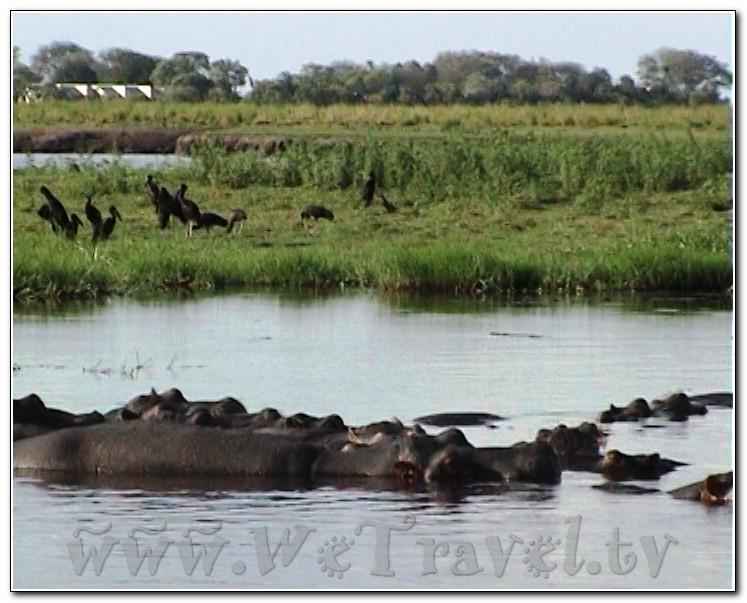 Botswana Chobe В Африке акулы, в Африке гориллы, в Африке большие, злые крокодилы