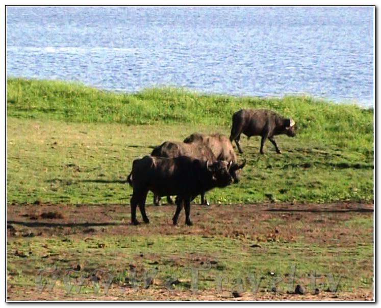 Botswana Chobe Не ходите, дети, в Африку гулять