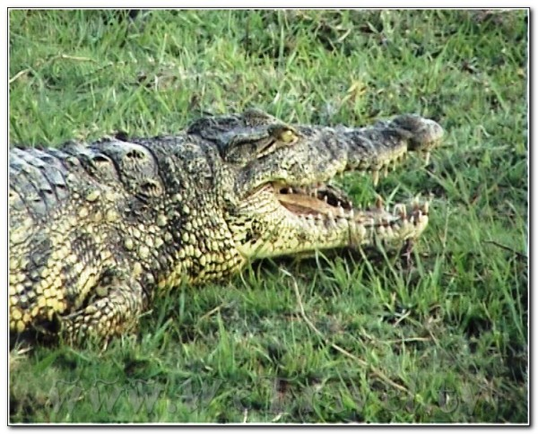 Botswana Chobe 024