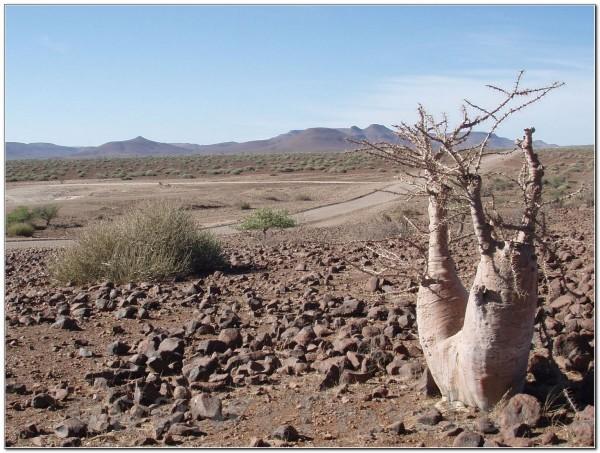 Namibia-Etosha-Welwitschia