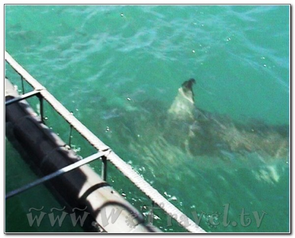 Republic of South Africa White Shark Diving Gansbaai 007