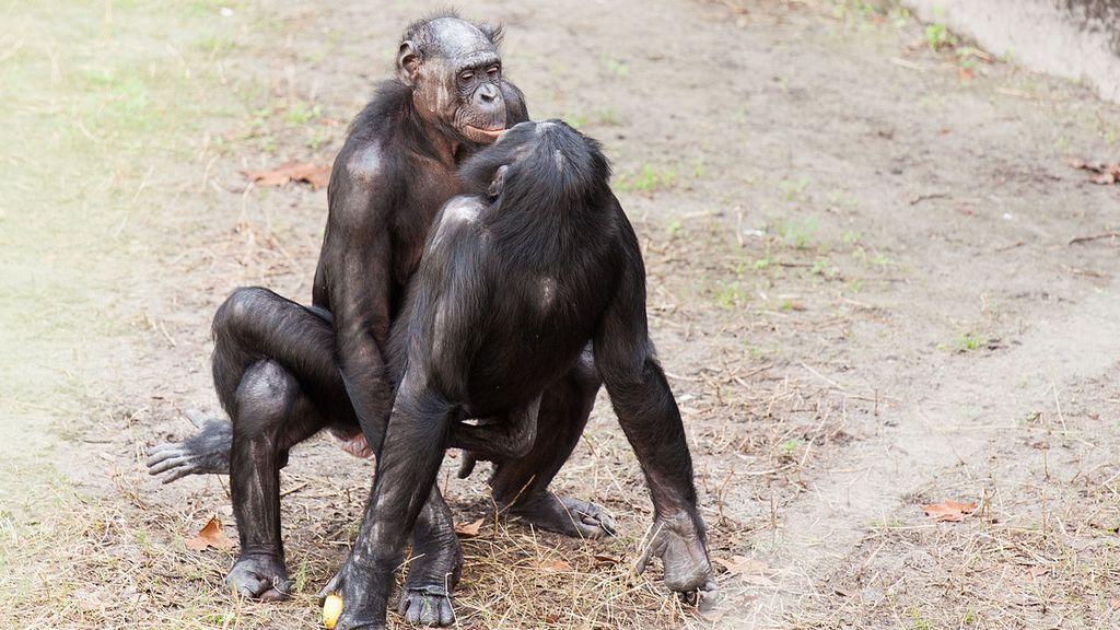 Бонобо занимается оральным сексом видео