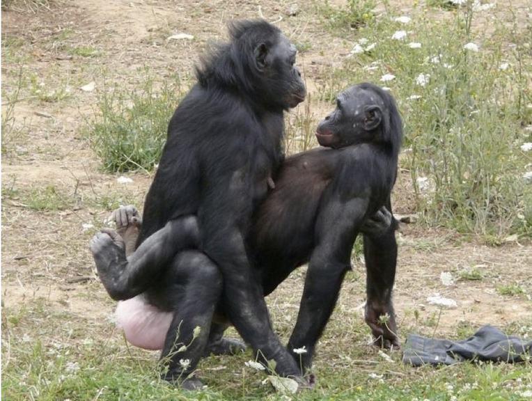 Bonobo 5