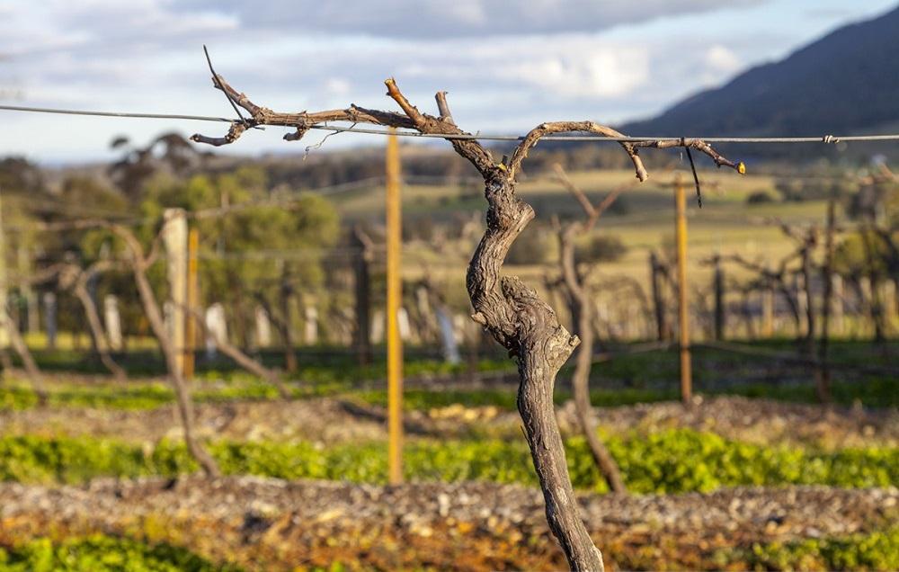"""Виноградную лозу """"приготовили"""" к зимовке, срезав ветки.  Весной она даст новые побеги, на которых и созреет сочный виноград."""